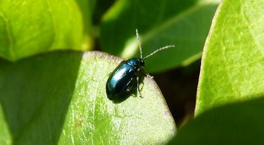 Green Dock Beetle, Capel Road, 2nd April