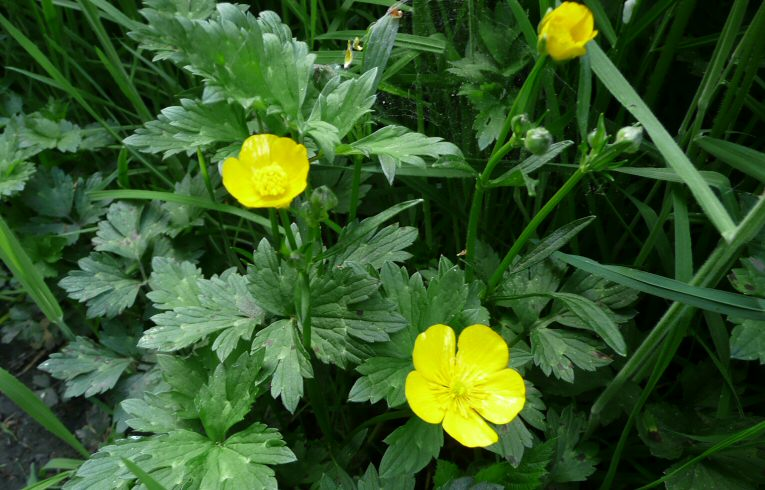 Plant Bulbous Buttercup Wp What Is The Difference Between