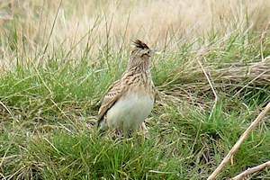 Skylark on Wanstead Flats