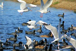 Gulls and Coots on Heronry Pond