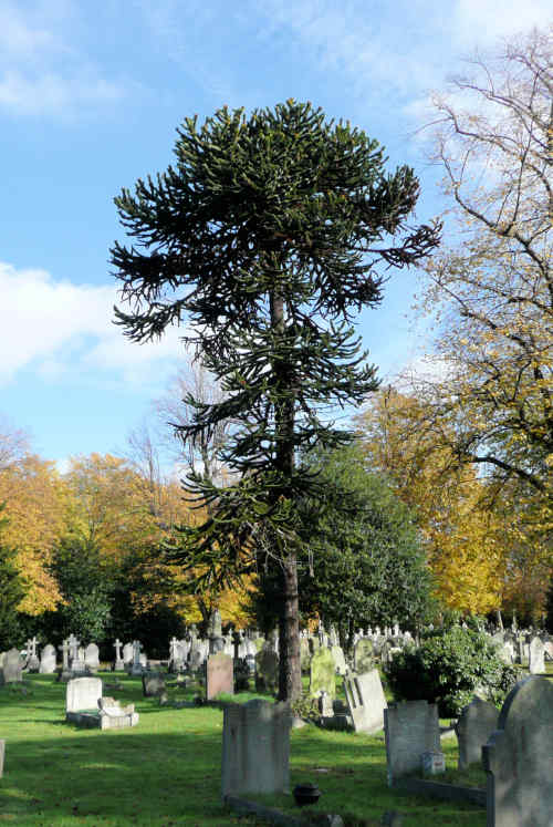Monkey Puzzle col 071102 0796art
