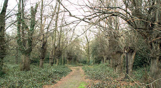 Bush Wood - a tree avenue