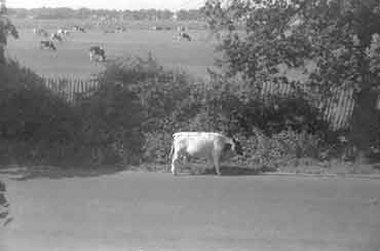Cattle by Wanstead Flats