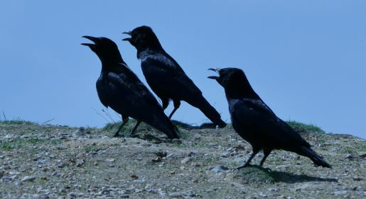 Hot Crows