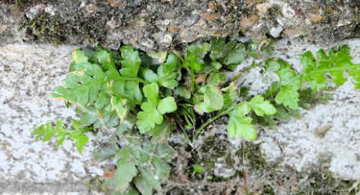 Black Spleenwort (Fern)