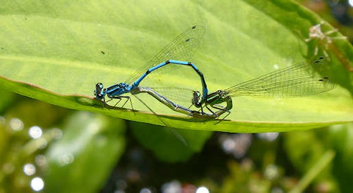 2 June - Azure Damselfly pair at garden pond