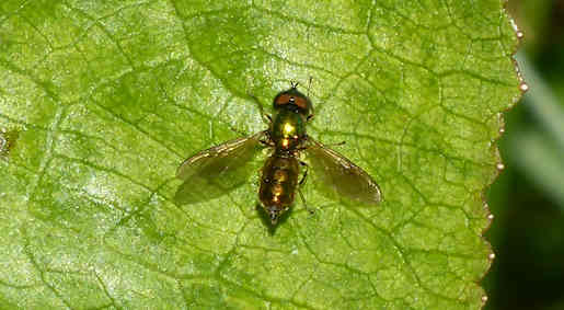 30 May - Broad Centurion fly, garden pond
